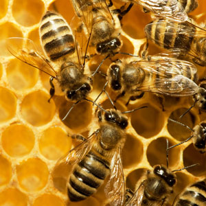Bees-in-hive300