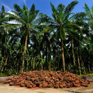 Project to Improve Livelihood of Palm Oil Smallholders