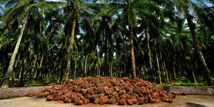 Palm oil production in Malaysia